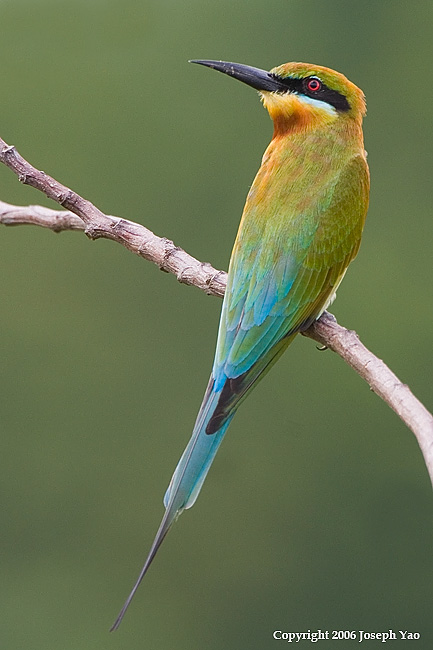 BLUE-TAILED BEE-EATER (Merops philippinus)<br /> Location:  Sembawang