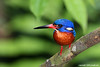BLUE-EARRED KINGFISHER - Male (Alcedo meninting)<br /> Location: Lower Pierce Reservoir, Cyathea Trail