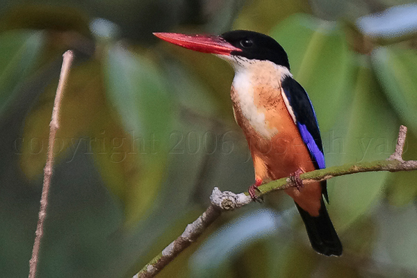 BLACK-CAPPED KINGFISHER (Ceyx erithacus)<br /> Location:  Chinese Garden