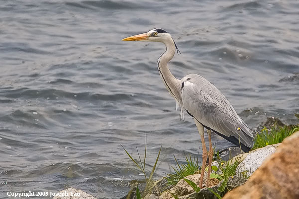 GREY HERON (Ardea cinerea)<br /> Location:  Lower Seletar Reservoir