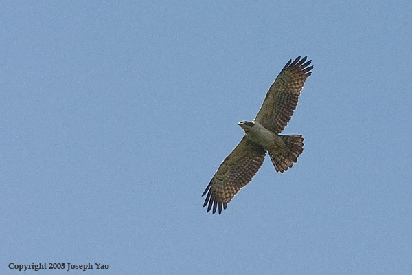 ORIENTAL HONEY-BUZZARD (Pernis ptilorhyncus)<br /> Location:  Bukit Batok Nature Park