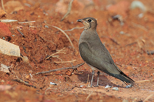 Oriental Pratincole (Glareola maldivarum)<br /> Location: Changi Cove