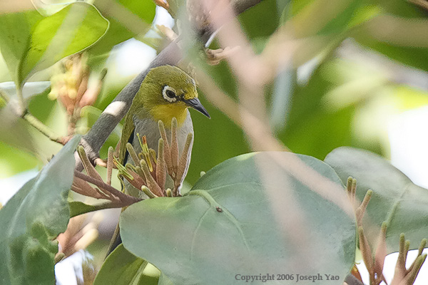 ORIENTAL WHITE-EYE (Zosterops palpebrosus)<br /> Location:  Mount Faber