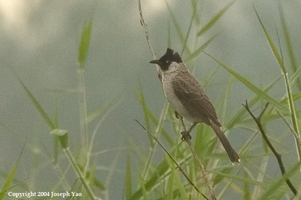 SOOTY-HEADED BULBUL (Pycnonotus melanicterus)<br /> Location:  Punggol