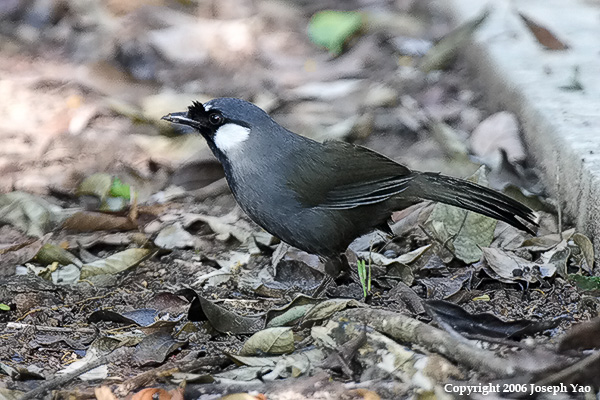 BLACK-THROATED LAUGHINGTHRUSH (Garrulax chinensis)<br /> Location: Mount Faber