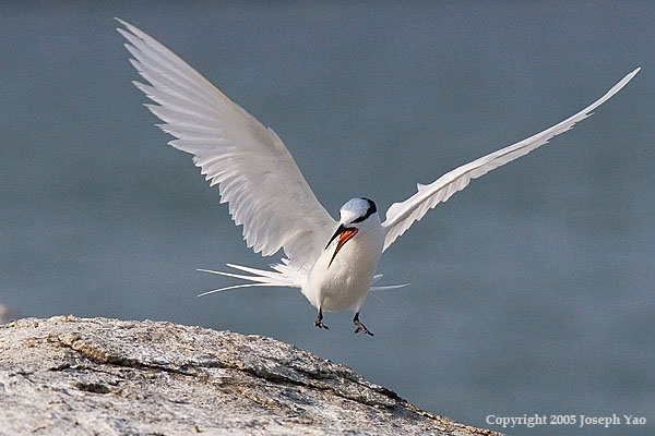 BLACK-NAPED TERN (Sterna sumatrana)<br /> Location:  Changi