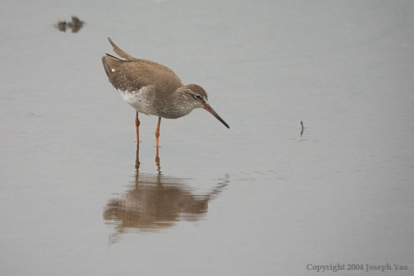 COMMON REDSHANK (Tringa totanus)<br /> Location:  Sungei Buloh Wetland Reserve