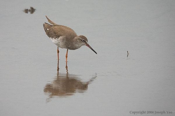 COMMON REDSHANK (Tringa totanus)<br /> Location:  Sungei Buloh Wetland Reserve