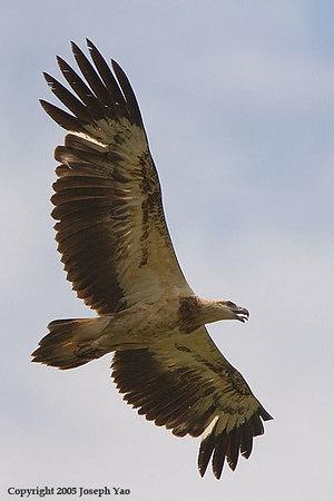 OSPREY, FISH-EAGLE AND SNAKE-EAGLES