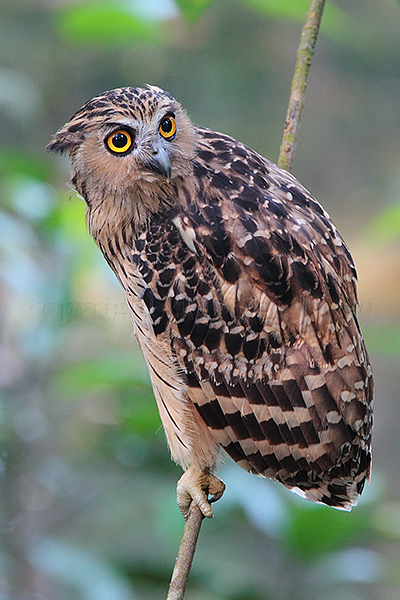 BUFFY FISH-OWL (Ketupa ketupa)<br /> Location:  Lower Pierce Reservoir Park