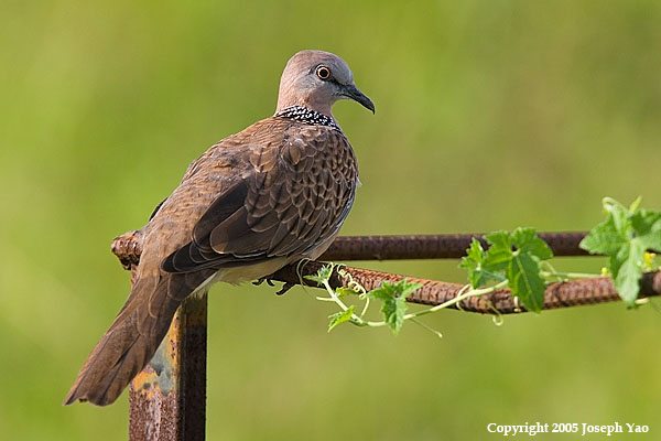 SPOTTED DOVE (Streptopelia chinensis)<br /> Location:  Sembawang