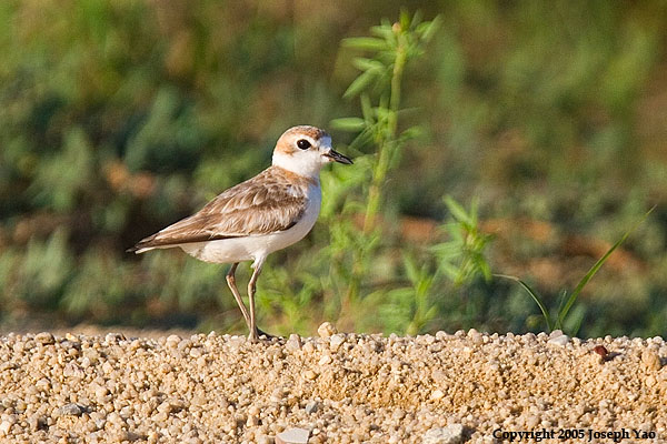 MALAYSIAN PLOVER - Female (Charadrius peronii)<br /> Location:  Changi Cove