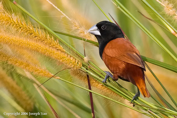 BLACK-HEADED MUNIA (Lonchura malacca)<br /> Location:  Sembawang