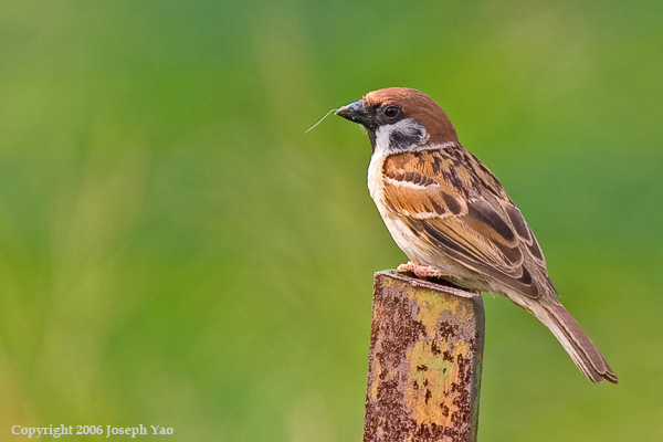 EURASIAN TREE-SPARROW (Passer montanus)<br /> Location:  Sembawang