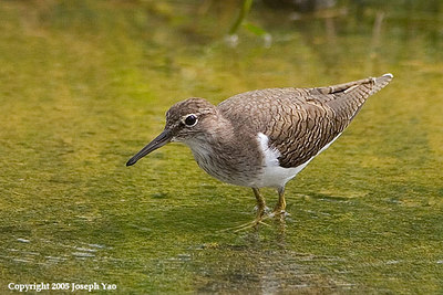TATTLER AND SANDPIPERS