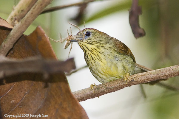 STRIPED TIT-BABBLER (Macronous gularis)<br /> Location:  Sime Forest