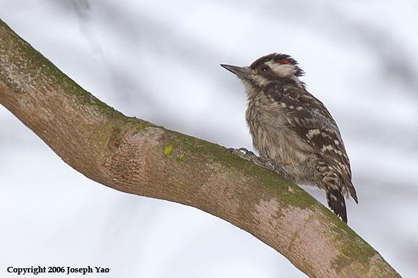 SUNDA WOODPECKER - Male (Dendrocopus moluccensis)<br /> Location:  Bishan Park