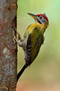 LACED WOODPECKER - male (Picus vittatus)<br /> Location:  Pasir Ris Park Car Park C