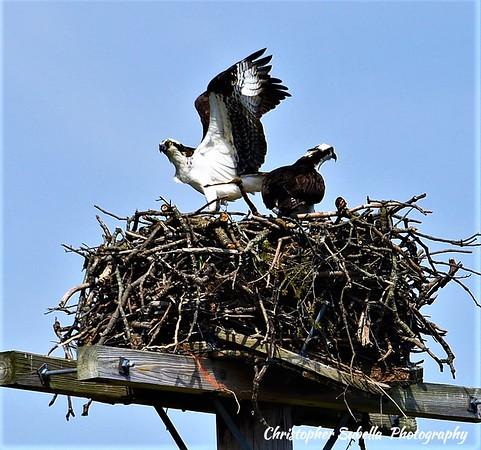 BIRDS OSPREY