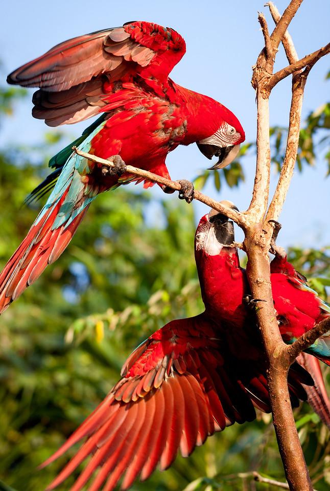 Red and Green Macaw (Ara chloropterus).