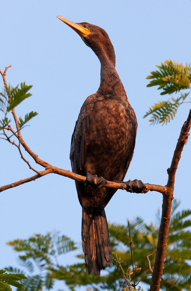 Neotropic Cormorant (Phalacrocorax brasilianus).
