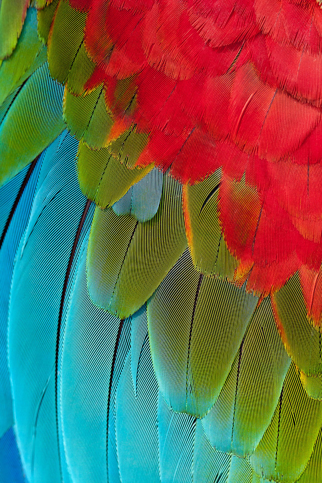 Green-and-Red Macaw plumage detail.<br /> <br /> Location: Serere Nature Reserve, Bolivia<br /> <br /> Lens used: Canon 100mm f2.8 IS Macro