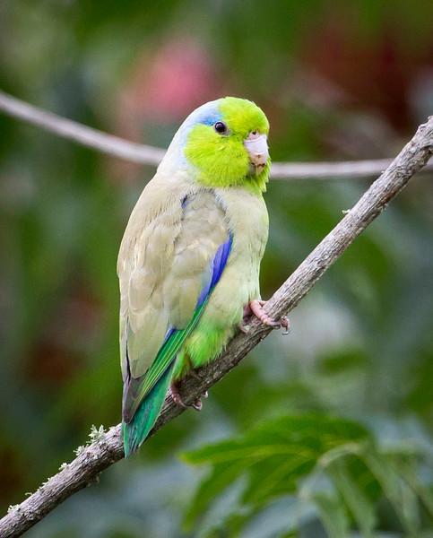 Pacific Parrotlet, male (Forpus coelestis).