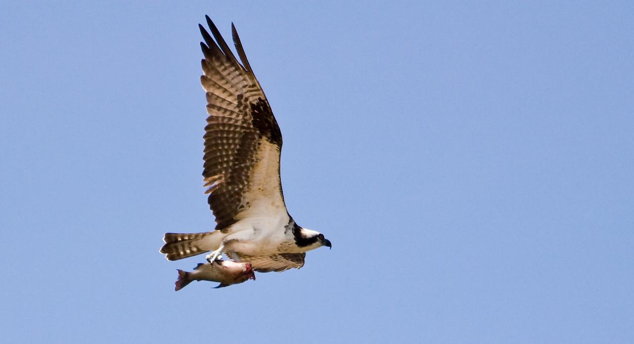 Osprey with fish.<br /> <br /> Location: Orinoco River Delta, Venezuela<br /> <br /> Lens used: Canon 100-400mm f4.5-5.6 IS