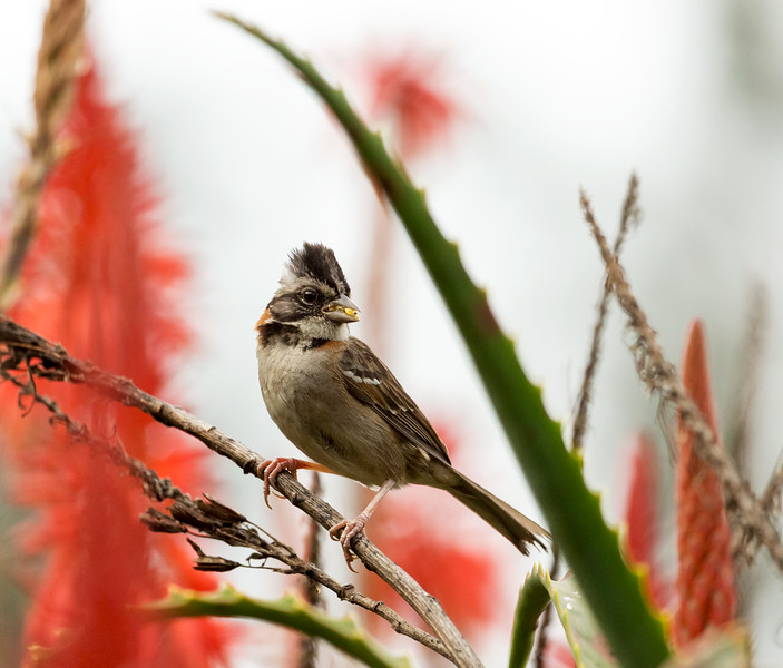 Rufous-collared Sparrow (Zonotrichia capensis).