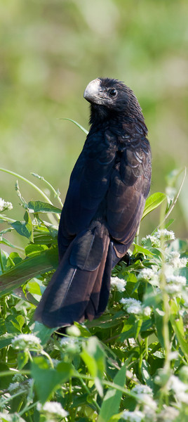Smooth-Billed Ani (Crotophaga ani).