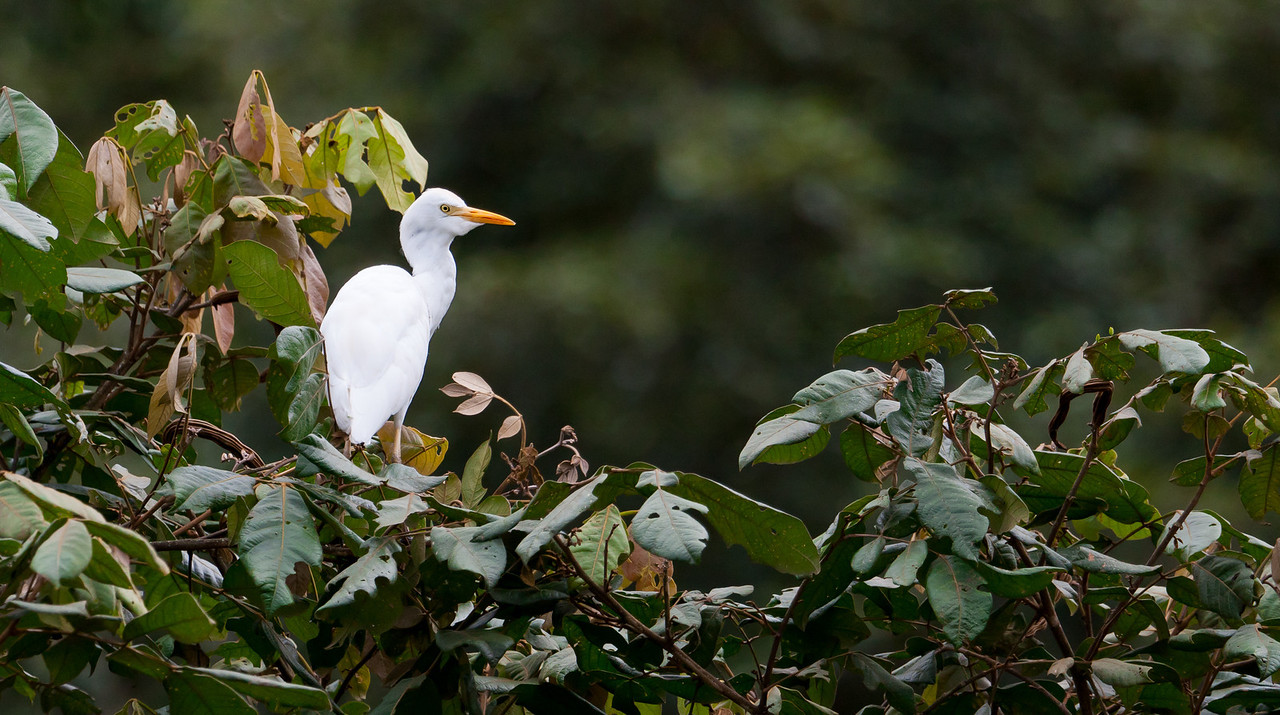 Egret in a tree.<br /> <br /> Location: Mindo, Ecuador<br /> <br /> Lens used: Canon 100-400mm f4.5-5.6 IS