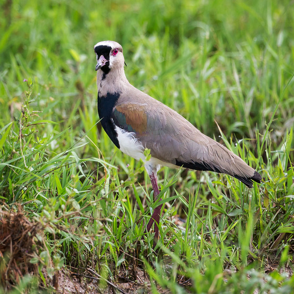 Southern Lapwing (Vanellus chilensis).