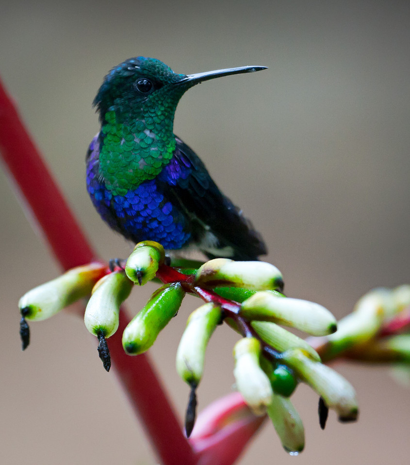 A Green-crowned Woodnymph, maybe?  (Damn, but are these things hard to differentiate and identify!)<br /> <br /> Location: Mindo, Ecuador<br /> <br /> Lens used: Canon 100-400mm f4.5-5.6 IS