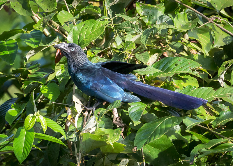 Greater Ani (Crotophaga major).