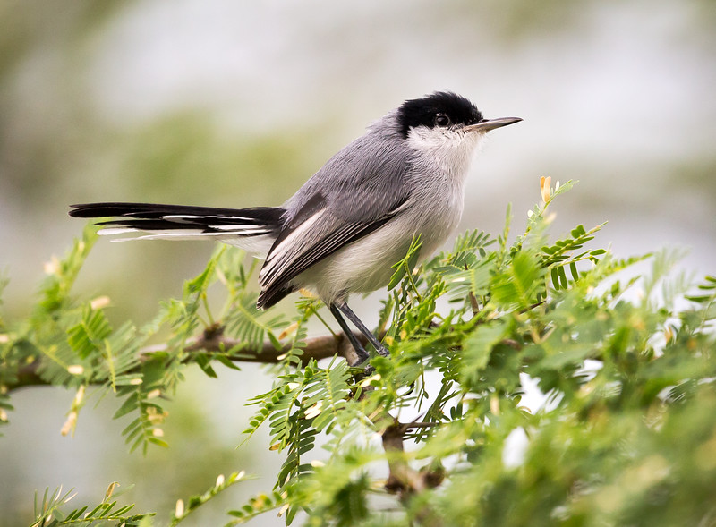 Tropical Gnatcatcher (Polioptila plumbea).