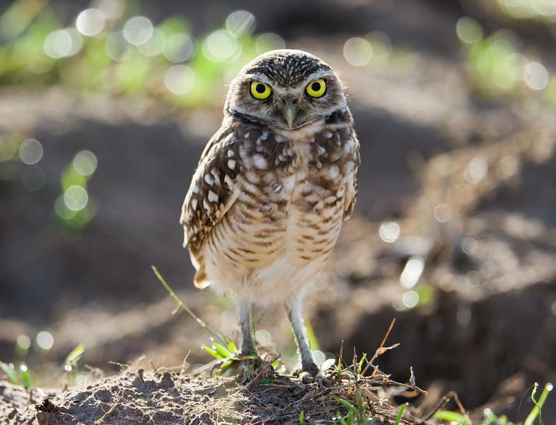 Burrowing Owl (Athene cunicularia).