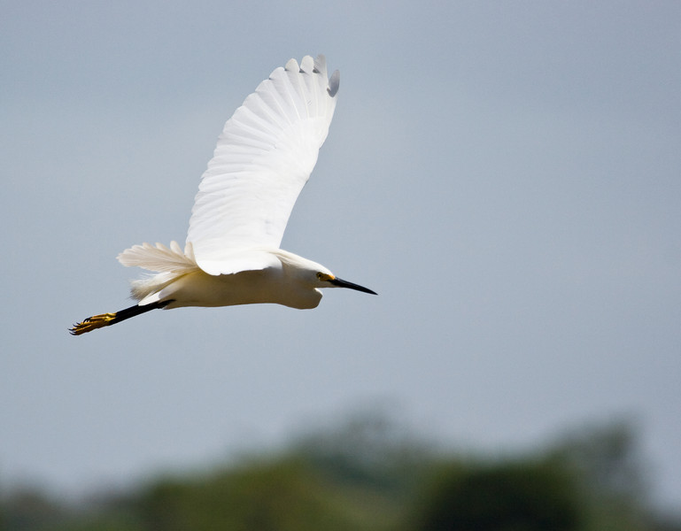 Great Egret.<br /> <br /> Location: Orinoco River Delta, Venezuela<br /> <br /> Lens used: Canon 100-400mm f4.5-5.6 IS