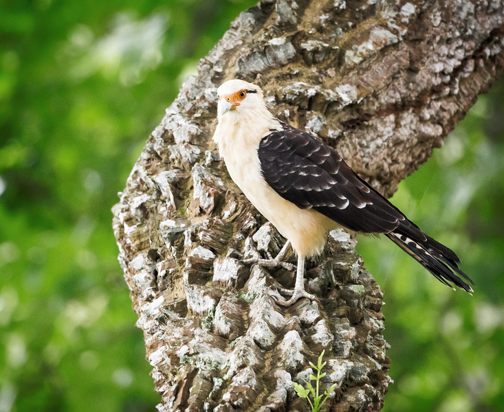 Yellow-headed Caracara (Milvago chimachima).
