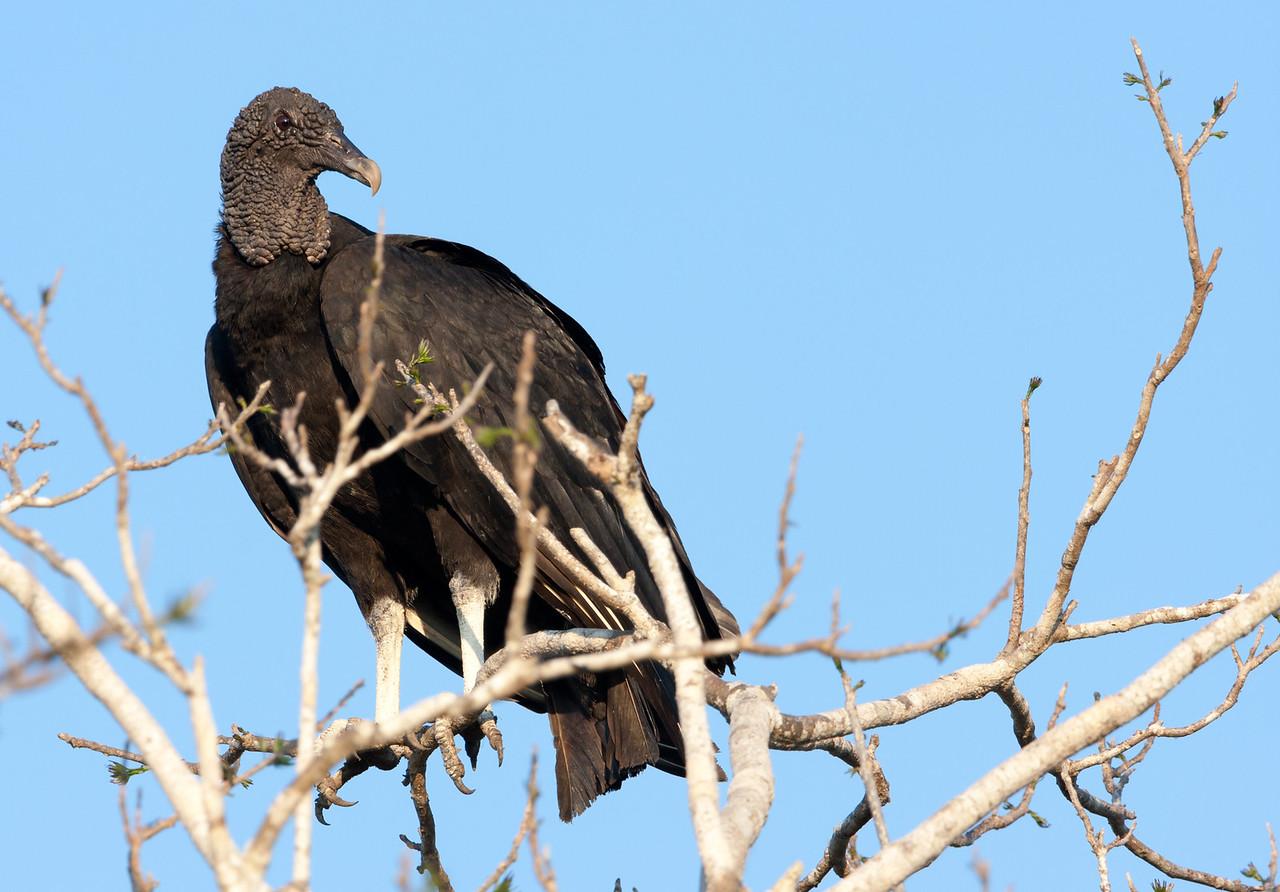 Black-Headed Vulture (Coragyps atratus).