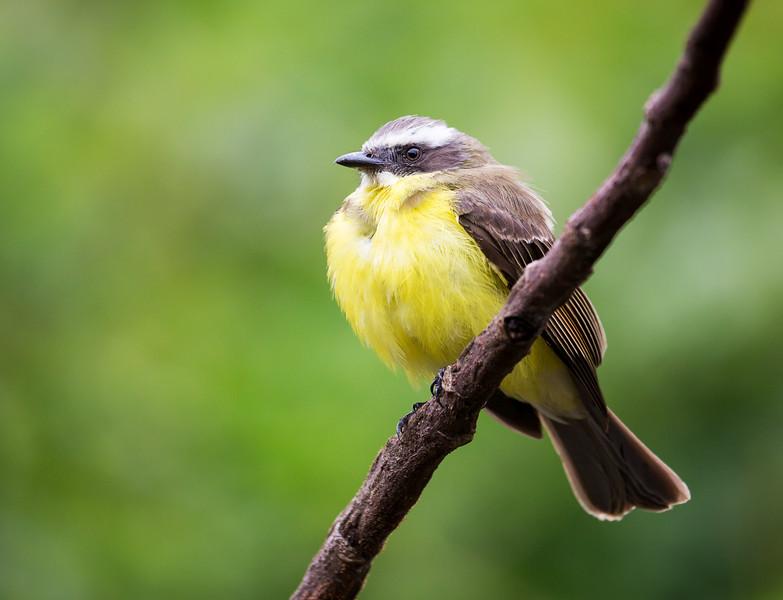 Social Flycatcher (Myiozetetes similis).