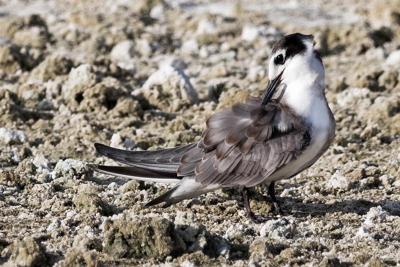 Black Tern, preening<br /> Location: Sarasota county, FL