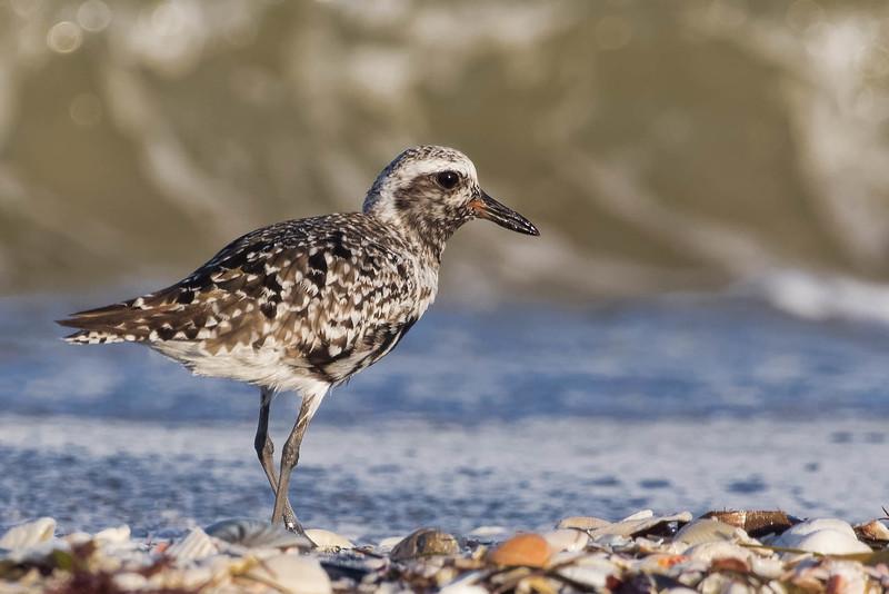 Black-bellied Plover<br /> Location: Charlotte county, FL<br /> Little Gasparilla Island