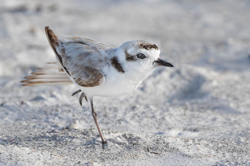 Snowy Plover on the move<br /> Location: Sarasota county, FL