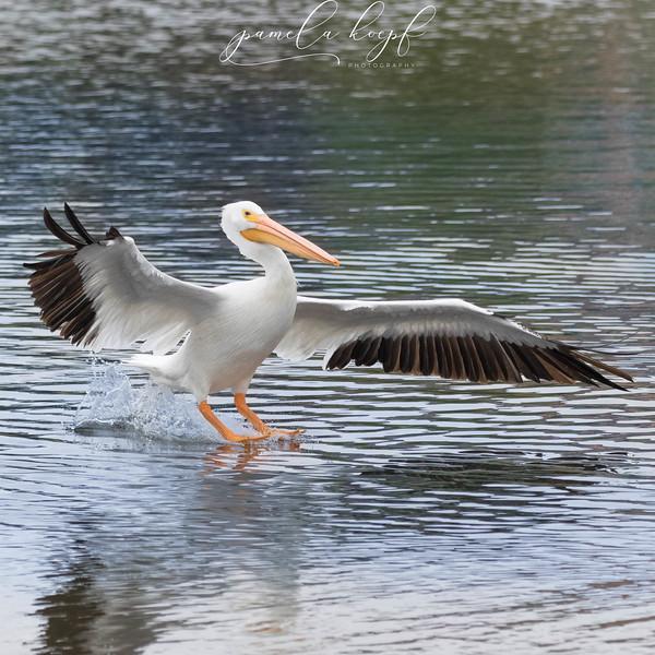 American White Pelican<br /> Sarasota county, FL<br /> Palmer Lake
