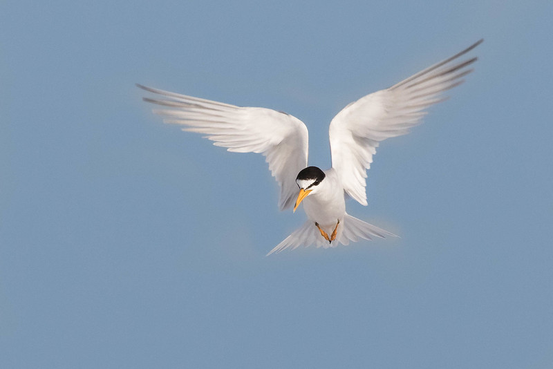Least Tern in flight<br /> Location: Sarasota county, FL