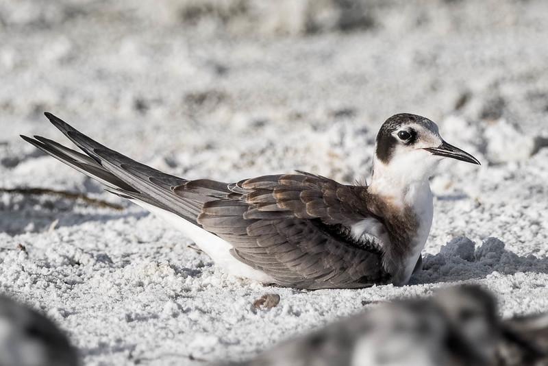 Black Tern<br /> Location: Sarasota county, FL