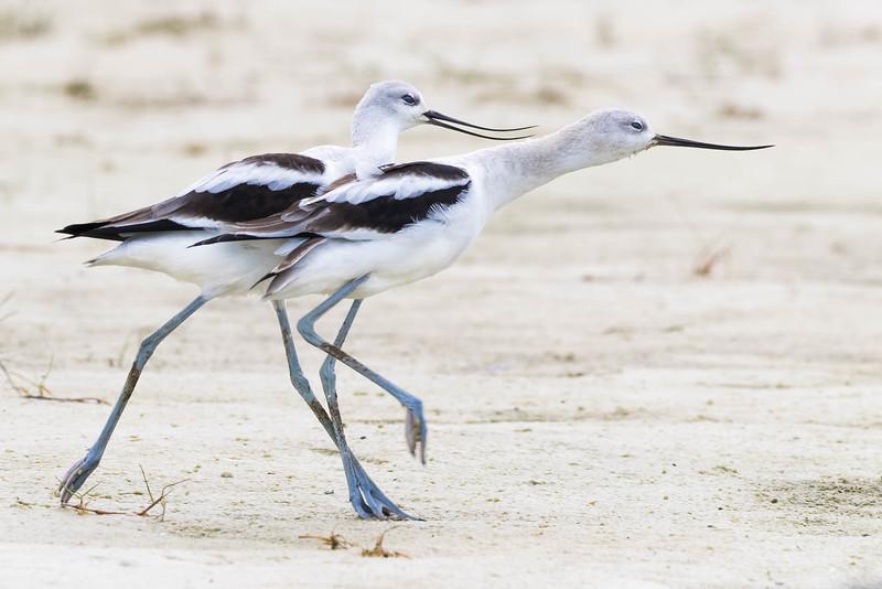 American Avocet pair<br /> Location: Sarasota County, FL