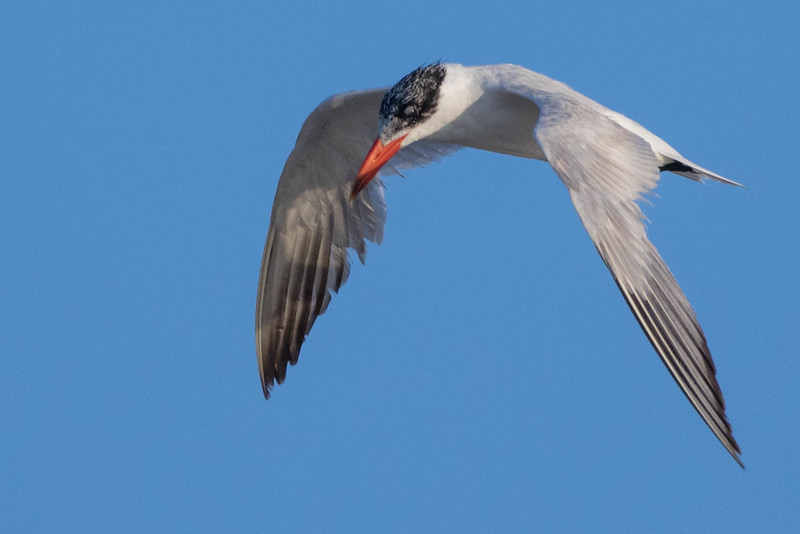 Caspian Tern<br /> Dare county, NC