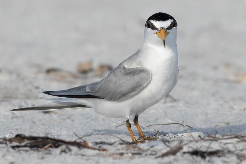 Least Tern<br /> Location: Sarasota county FL