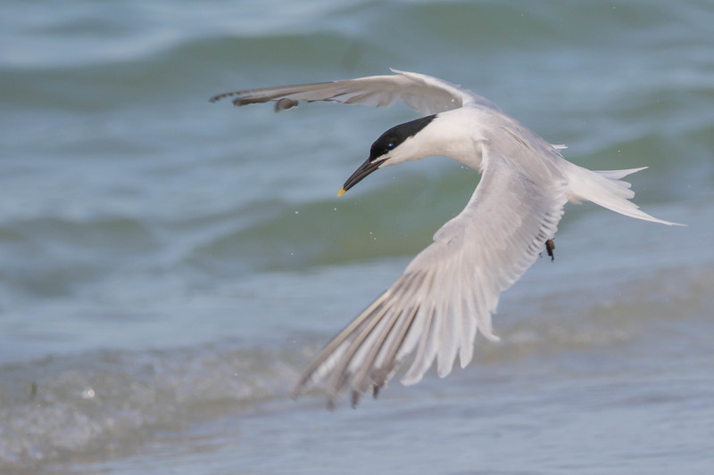 Sandwich Tern<br /> Sarasota county, FL